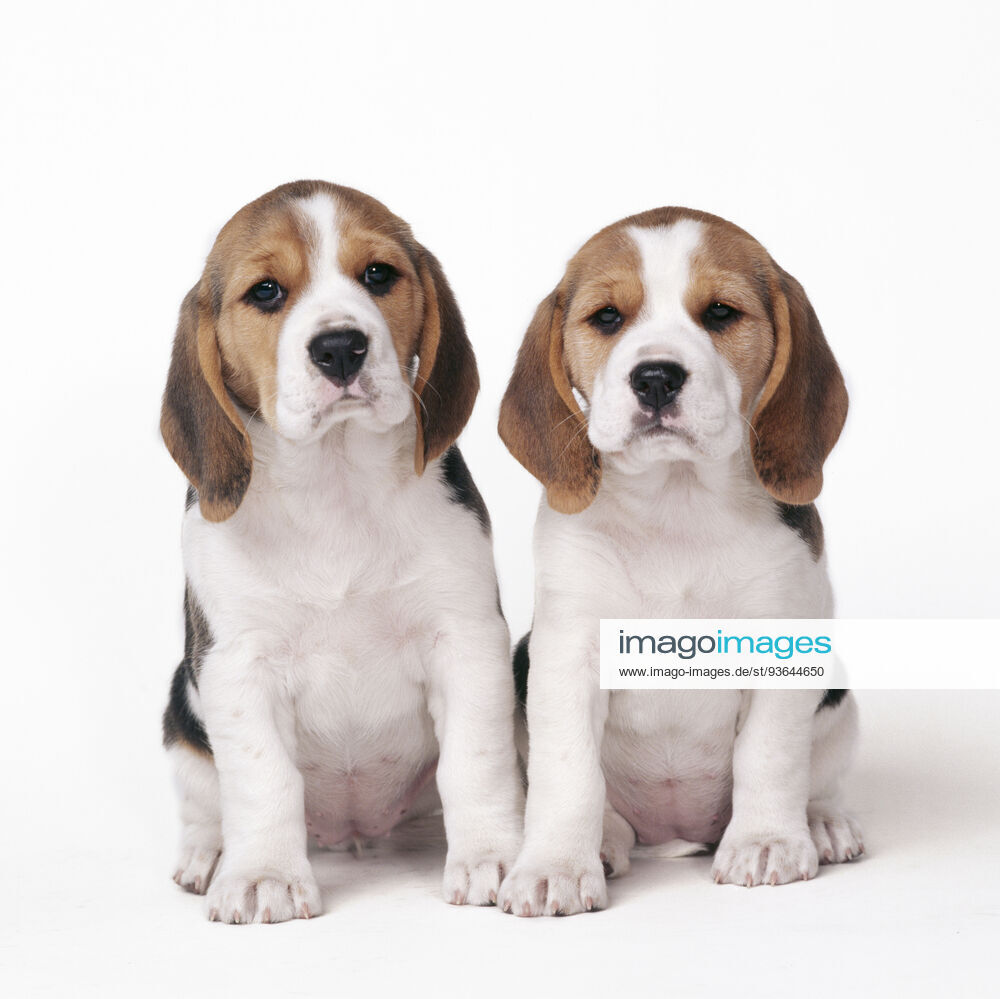 dog beagle english beagle x2 puppies sitting  | Stockfoto bei imago images lizenzieren